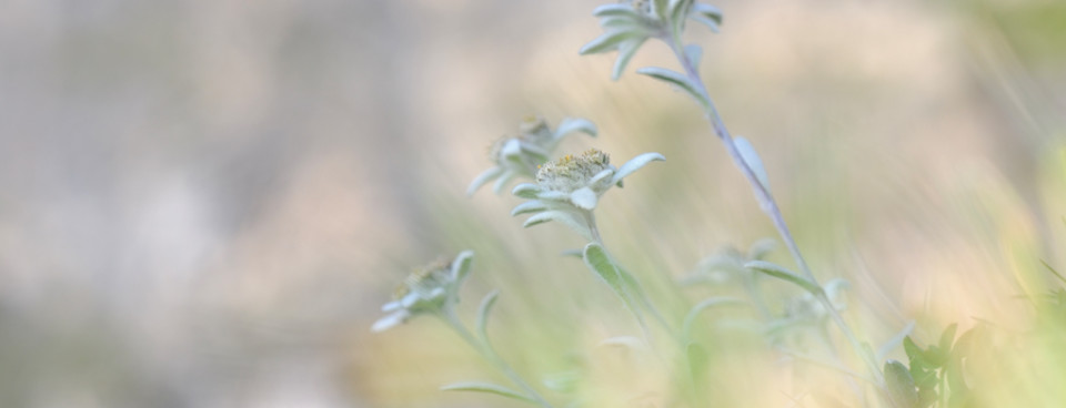 Paul Sürth – edelweiss